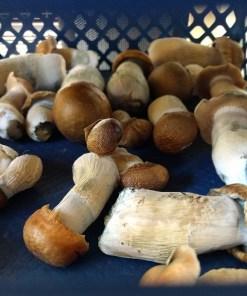 Buy Mushrooms Online USA
