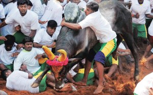 SC stays govt notification allowing Jallikattu