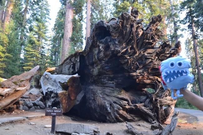 06 sequoias