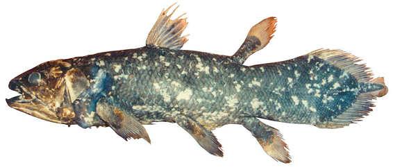 Ikan Purba Coelacanth