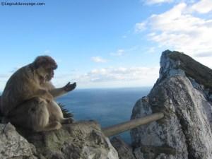 Gibraltar - Macaques Berbères