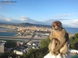 Gibraltar - rocher - macaques