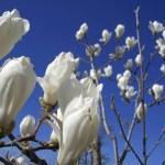 Au printemps les magnolias fleurissent et les dents tombent