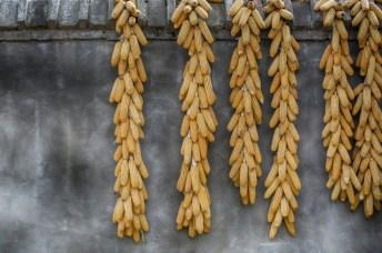 Séchage du maïs