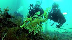 Leafy sea dragon!