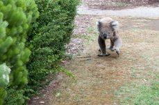 Koala dans la rue