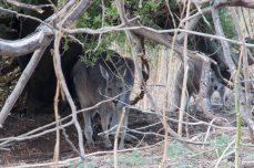 Kangaroo - Kangourous