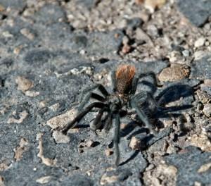 tarantula-at-mesa-verde
