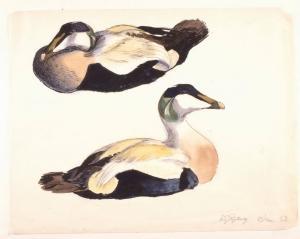 1-Edderfugle, studie, 60x65 cm