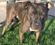 'Lola' 4 year old Female Staffordshire Bull Terrier. Originally a stray history/habits unknown. Lola is not recommend around children as she seems to be wary of anyone young including teenagers.