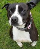 ADOPTED 'Roxie' 5 year old Female Staffordshire Bull Terrier Type. Roxie came into us for boarding as her owner was unwell but they can now no longer look after her. Roxie is good natured but has been in kennels for nearly a year now so will likely need time to adapt to home life again.