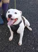 'Sidney' 6 year old Staffordshire Bull Terrier Male. Sidney is looking for a home as his owner was pregnant and already had a young child and was finding Sidney too much. He is very lively and strong so will need a firm hand and a bit more training. He can't be around other animals.