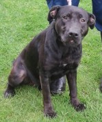 'Lottie' 18 month old female Labrador cross. Lottie was a stray so her background is unknown. She has mild Demodex and is under treatment.
