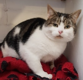 'Bobby' 3 and a quarter year old Male Tabby/White DSH. Came into us as his owner moved back home and can't take him with them.