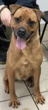 'Ruby' 5 year old Female Cross breed. Originally a stray history/habits unknown.