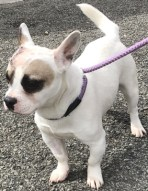 ADOPTED 'Heston' 12 month old Male French Bulldog Cross. Originally a stray history/habits unknown. Did arrive with a lump on his head which has been removed as well as being castrated here.