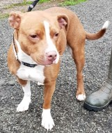 'Missy' 3 year old Staffordshire Bull Terrier type. Missy has been rehomed but after being with her new owners for quite a while they have had to give her up as she is easily spooked and has turned and they are worried for their grandchildren. She has been friendly with the staff here (except the vet!) but will not be homed with under 16's.