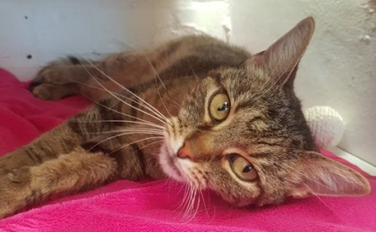 'Maisie' 6 year old female tabby. Maisie is looking for a new home as she didn't get along with the dog in her previous home! She can be a little shy at first but is fine when she settles.