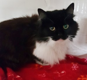 'Polly' 7 year old neutered female. Polly is looking for a home as her owner is moving abroad. She has some fur loss but has had flea treatment and this will hopefully settle.