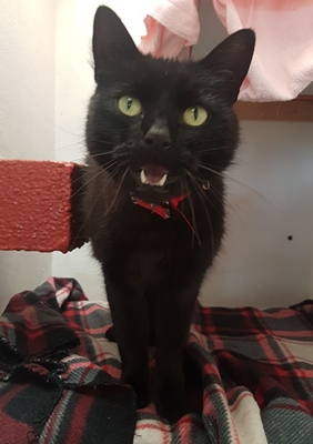'Hamish' 8 and a half year old male. Hamish is looking for a new home as he scratched his owner's baby. He has been fine being handled whilst he has been with us so doesn't have any particular restrictions but clearly doesn't appreciate very young people.