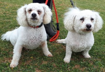 'Sophie & Buster' two Bichon Frise. Sophie is 9 years old in September & Buster is 7 years old in October this year. They are mother & son. They have come into us as their owner sadly passed away. They will only be rehomed together as they fret when apart.