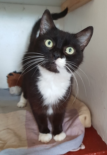 'Harry' 4 year old Male White/Tabby DSH. Harry came into us as his owner was moving home and can't take Harry with them. He has been quite nervous during his short time with us so for now will not be rehomed with young children.