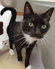 'Bailey' 7 year old Female Black/White DSH. Bailey came into as her owner's new partner was allergic to her. She is a nice friendly girl.