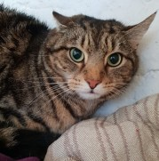 'Alex' 5 year old Male Tabby DSH. Come into us as owner can no longer look after.