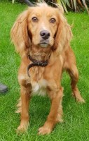 'Rubble' 18 month old Female Cocker Spaniel Cross. Come into us as too much for owner, very energetic dog.