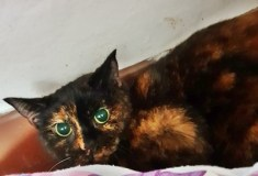 'Suki' 4 year old Female Torti DSH. Come into us due to owners ill health, is only used to living with one person, will not be rehomed with children.