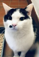 'Oscar'5 year old Male Black/White DSH, come into us due to his owners ill health Oscar is a loving friendly cat up to a point he is only tolerant of so much fuss, most interaction with him is mainly on his terms, for this reason he will not be rehomed with children.