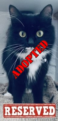 ADOPTED'Jasmine' 3 and a half year old Female Black/White DLH. Jasmine came into us as her owner has started child minding & the child is allergic. Very friendly well handled cat, but unfortunately Jasmine is not suitable with other cats at all.