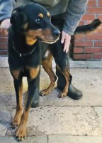'Brandon' Approximately 6 to 7 year old Male Cross Breed. Brandon was originally a stray so his history/habits are unknown. He is a nervous dog so will not be able to go to a home with under 14's.