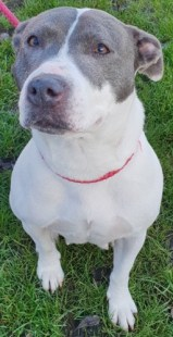 'Roxy' 5 year old Female Staffordshire Bull Terrier Cross. Originally a stray history/habits unknown. Adopted but returned after 6 weeks started to snap at little brother without reason, can no longer trust. Never had any issues with her here in the kennel environment, will only be rehomed to a child free home.
