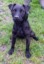 'Rocky' 11 month old Castrated Male Patterdale Terrier. Rocky came into us for rehoming as he was too much for his owners. Rocky needs a lot of exercise and an owner with patience but also who has lots of time as he does need training. Rocky doesn't like other animals so will need to be an only pet. He isn't keen on being over handled so cannot be rehomed with anyone under 14. He has been adopted but returned as he was a nuisance with other animals when out on walks, despite this information being given to the adopter - PLEASE NOTE that he will need to be kept away from other animals and exercised at quiet times/in places where other dog walkers don't frequent.