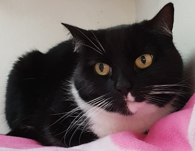 'Ria' 4 and a half year old spayed female, black and white domestic short haired. Brought into us as owner was moving house and couldn't take her. She's a little shy as to be expected being in a new environment.