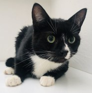 'Tilly' 4 year old female Black & White DSH. Tilly came into us as her owners child was allergic to her. Tilly has a grade 2 heart murmur but this is at the lower end of the scale and does not require any special care or treatment.