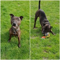 'Arlo' 7 year old Male Staffordshire Bull Terrier Type. Arlo came into us as his owner can no longer look after him. Arlo has been living rough in the past so will more than likely need some house training. He is a lovely friendly dog who cannot wait to find out what home comforts are. Arlo needs to be rehomed as an only pet as he doesn't like other dogs so caution is needed when he's out on walks. He cannot be rehomed with anyone under 13.