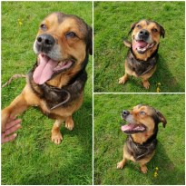 'Mooch' 8 year old Male Cross Breed. Mooch was originally a stray so his history and habits unknown. Mooch is still very active and playful for his age and loves being out and about. He is still very strong on the lead. Mooch has been very friendly with all the staff whilst he has been here.