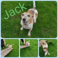'Jack' 9 year old castrated male Jack Russell. Jack is looking for a home as he was proving too much for his owners. He doesn't get on with other dogs and he gets agitated by things moving past him, which led to him going for a child on a swing. He is very typically Jack Russell character and needs a child-free home with someone familiar with this 'character' and happy to deal with it.