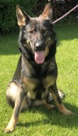 'Ziggy' 10 month old Female German Shepherd. Ziggy came into us as her owner is no longer in a position to care for her. She is a little nervous at the moment and as she has come from an adult only home she will not be able to go with under 14's.