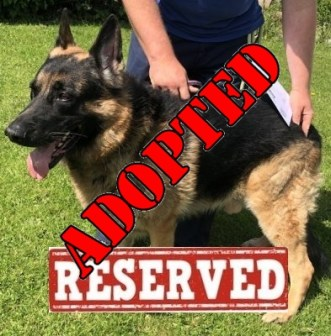 'Dexter' 7 and a half year old male German Shepherd. Dexter came into us as his owner is no longer in a position to care for him. He has come from an adult only home so will not be homed with under 14's as a precaution.