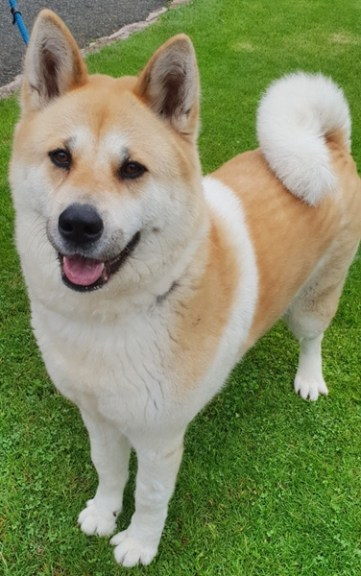 'Skylar' Roughly 2 to 3 year old female Akita type. Come into us as the owner can no longer look after Skylar. Will not be rehomed with children.