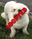 'Milo' 4 year old Male Bichon Frise. Com into us due to his owner ill health. Will not be rehome with children under 13 years at the recommendation of the previous owner.