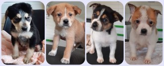 Chief, AJ, Skylar and Bentley are 8 week old cross breed pups. Their mum (Pixie) was a stray who was found pregnant so they have been born here. They're going to grow into medium/large dogs so will need a home with plenty of room.
