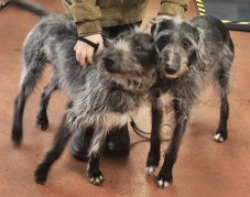 'Jem & Wilf' 2 lurchers both males have come into us as there has owner has passed away. Jen and Wilf do need to be rehomed together. Wilf is 9 years old & Jem is 4 years old. They have both been friendly with the staff here and don't currently have any restrictions on them.