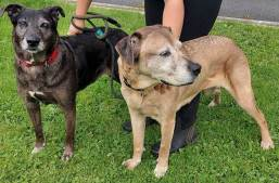 'Julie & Judy' 2 female medium sized Cross breeds. They are mother and daughter and have always been together so we would like a home where they can be kept together. Julie (the sandy one) is 10 years old and Judy (the grey one) is 8 years old. They came into us as their owner was unwell but they have sadly now passed away. They have been with us in kennels for a little while now and we have found them to be pleasant natured and still quite spritely. despite their age!