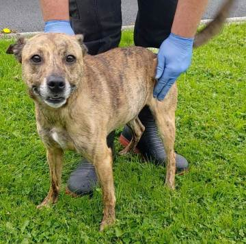 'Kiya' 7 year old Female crossbreed (small-medium sized). Kiya has been with us in the kennels for a couple of weeks but her owner is unwell and has asked us to find her a new home. She is good natured and lively but unfortunately Kiya isn't suitable with other pets. She can be quite boisterous and so is more suited to a home with older children