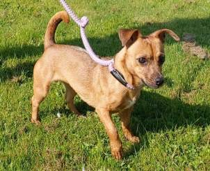 NO LONGER ACCEPTING APPLICATIONS 'Pudding' 2 and a half year old female Jack Russell/Chihuahua cross. Pudding is looking for a new home as her owner is moving home and can't take her with them. She has been friendly with staff so doesn't currently have any restrictions as to where she can be homed.