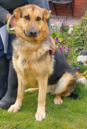NOT CURRENTLY ACCEPTING FURTHER APPLICATIONS 'Hansel' Approximately 4 year old Male German Shepherd. Hansel is looking for a new home as he was abandoned by his owner. Because of this his background is not known. He may need house training but he has been friendly with staff. Due to lack of history we wouldn't recommend he be homed with young children.